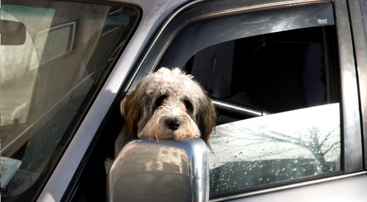 Doggie In Car Window